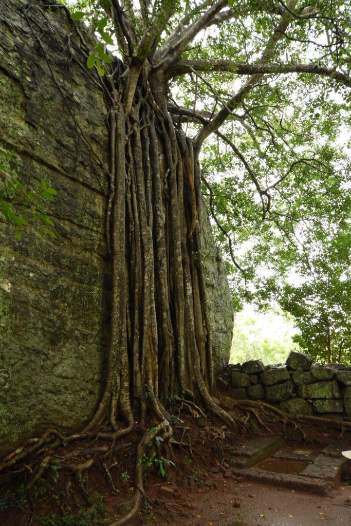 Der Baum schlingt seine Wurzeln über die alte Mauer