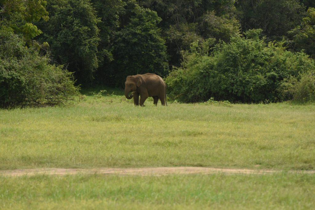 Elefantenmännchen