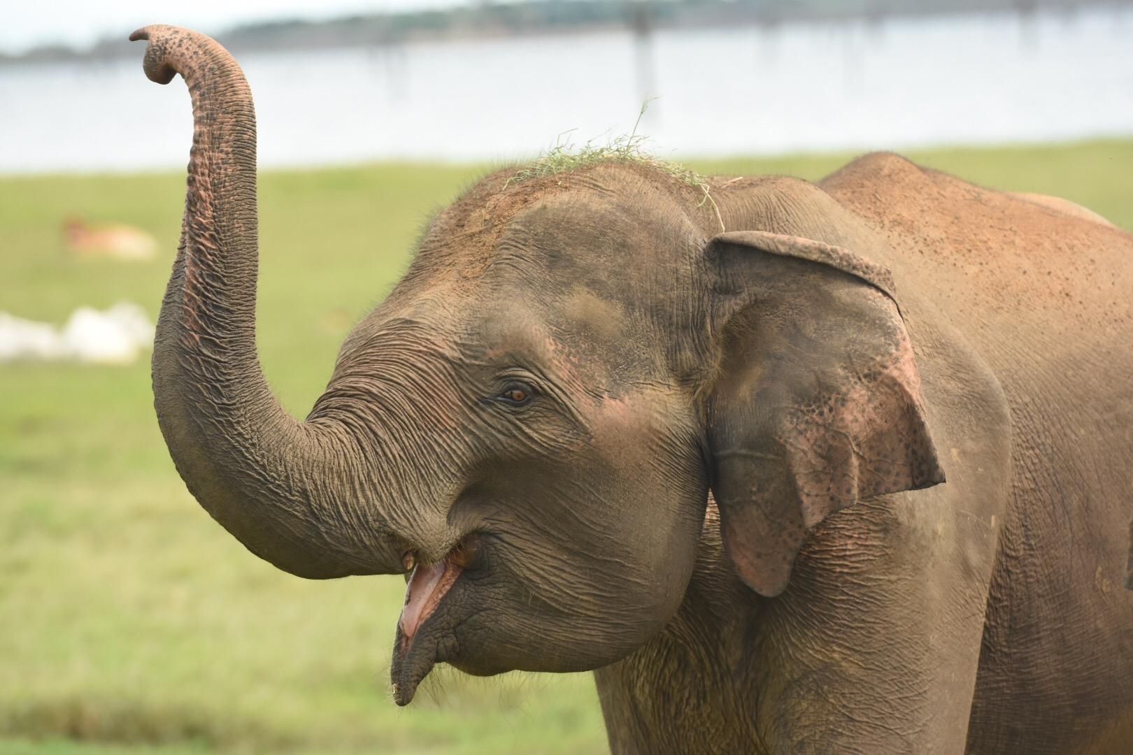 Elefanten begrüßen uns am Kaudulla Stausee