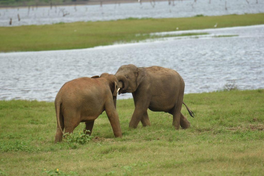 Raufende halbstarke Elefanten