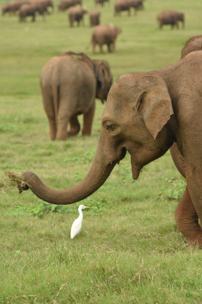 Gelassen grasende Elefantenkuh mit obligatorischem Reiher