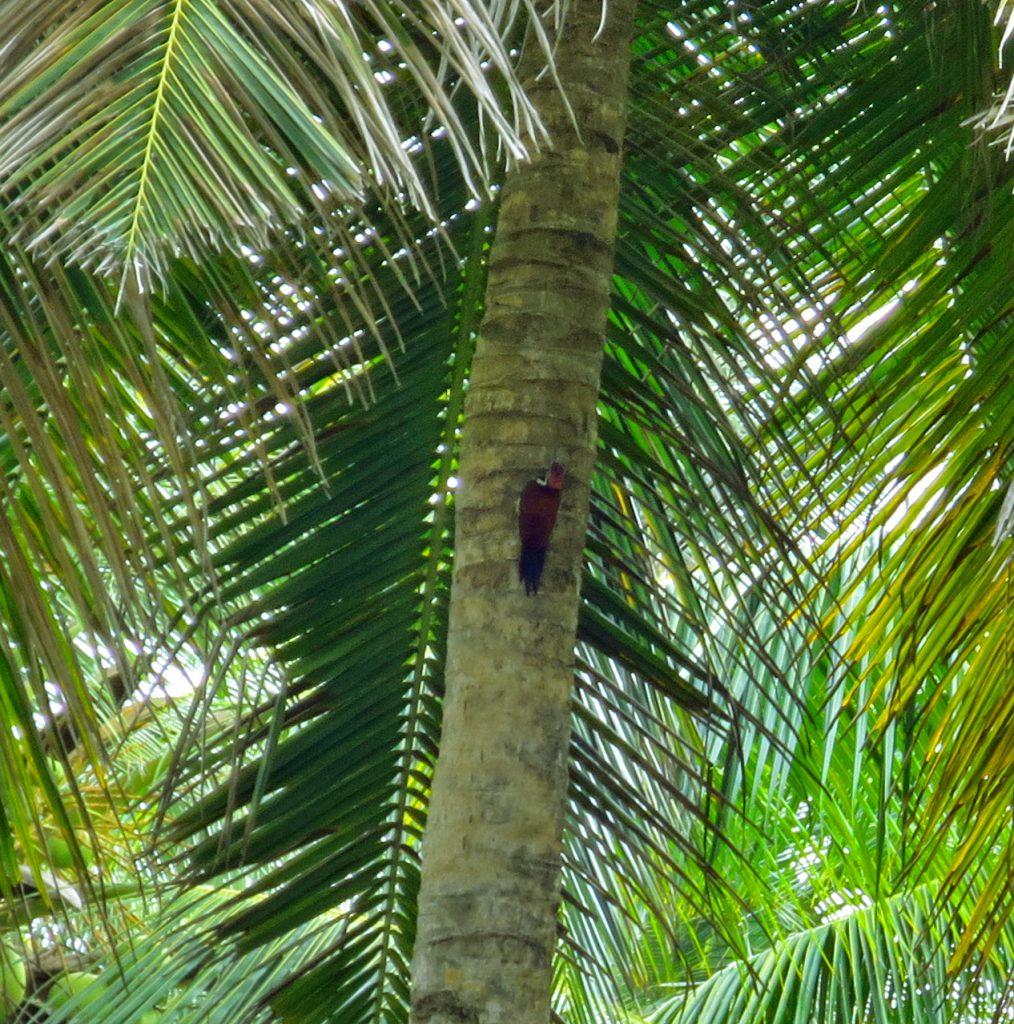 Der Black-Rumped Flameback bei der Arbeit an einer King Coconut Palme