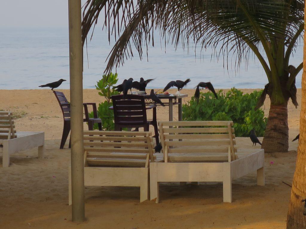 Die Large-Billed Crows beim Zerlegen unseres Frühstückstischs