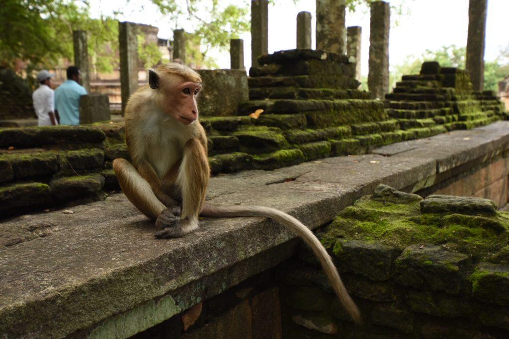 Affe auf der Zitadellenmauer
