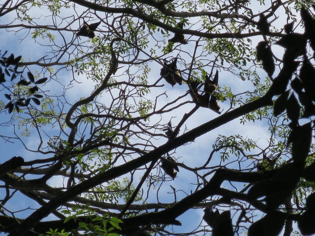 Flughunde in den Bäumen am Kandy Lake