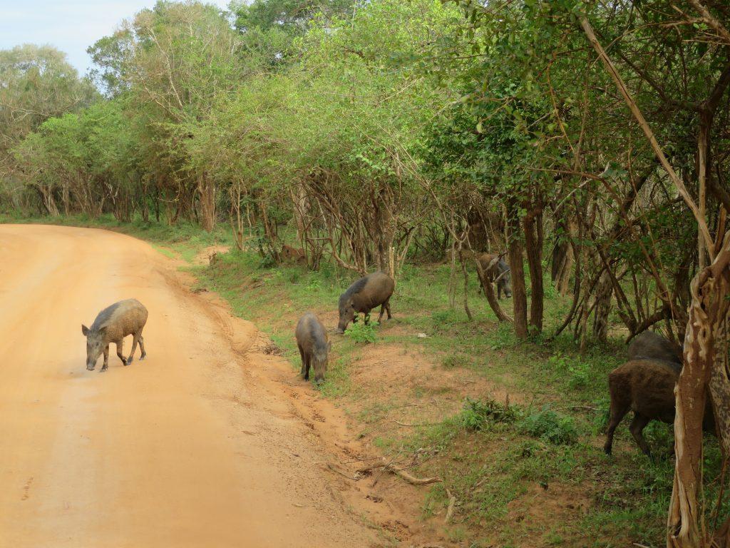 Die Wildschweine müssen sich vor Leoparden mehr fürchten als vor Krokodilen