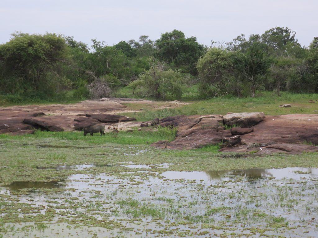 Ein nichtsahnendes Wildschwein stapft neben einem Krokodil ins Wasser