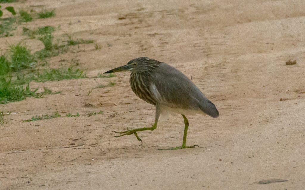 Ein Indian Pond Heron marschiert geschäftig über die Straße. Ob ihm schon jemand gesagt hat, dass er seinen Hals vergessen hat?