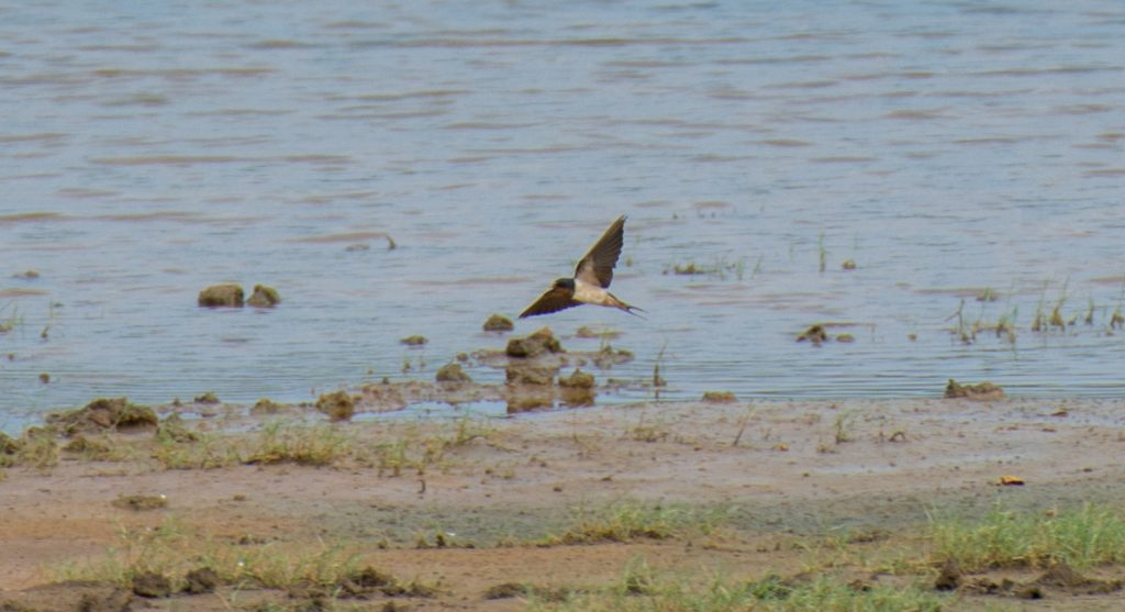 Eine Barn Swallow bei der Jagd am Wasserloch