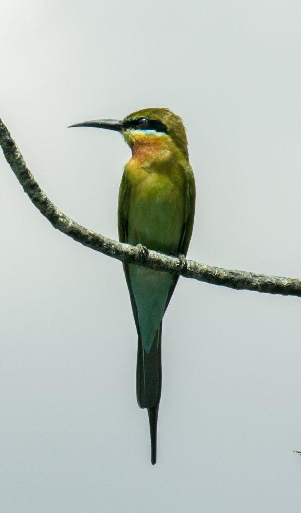 Der prächtige Blue-Tailed Bee-Eater schlägt seine kleineren Vettern fast noch in Schönheit