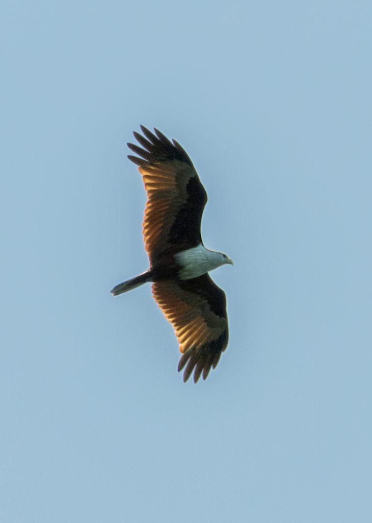 Ein kreisender Brahminy Kite
