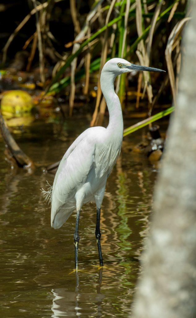 Wenn die Greater Egrets brüten wechseln sie die Farbe ihrer Schnäbel und Beine