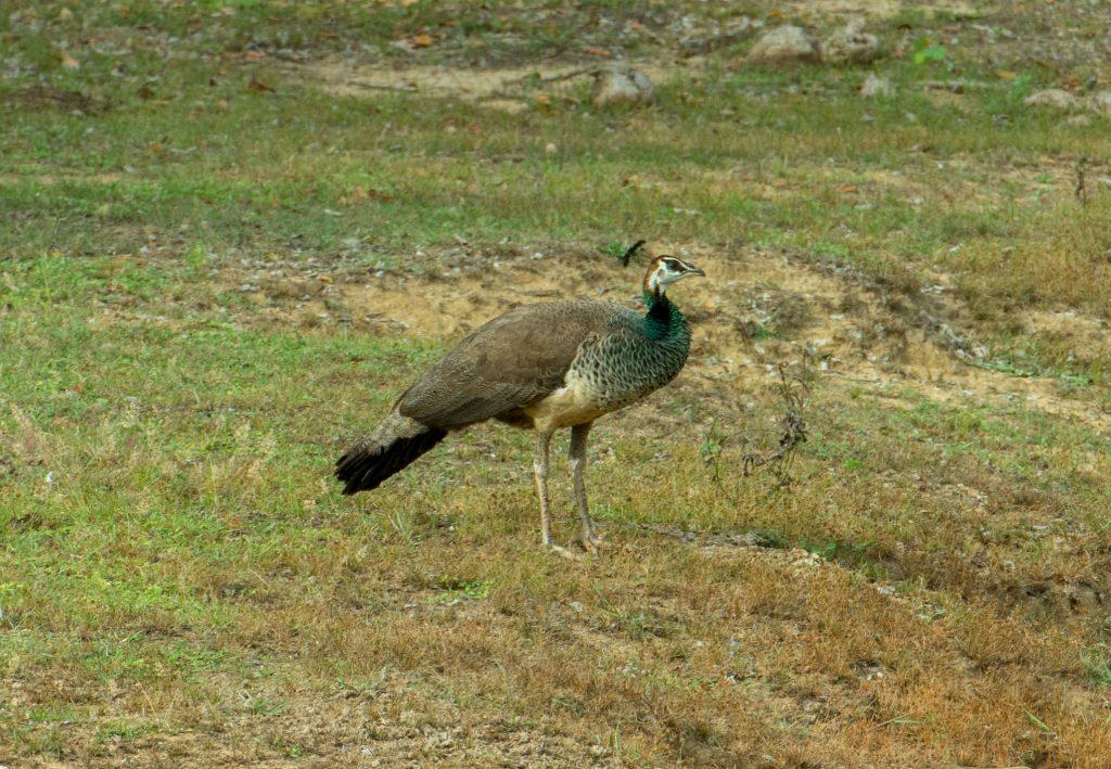 Die Weibchen der Indian Peafowls sind mit ihrem hellen bis weißen Gefieder ebenfalls hübsch anzusehen