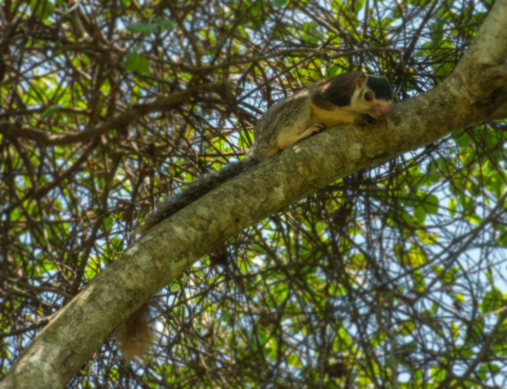 Ein Giant Squirrel, das Nationaltier von Sri Lanka