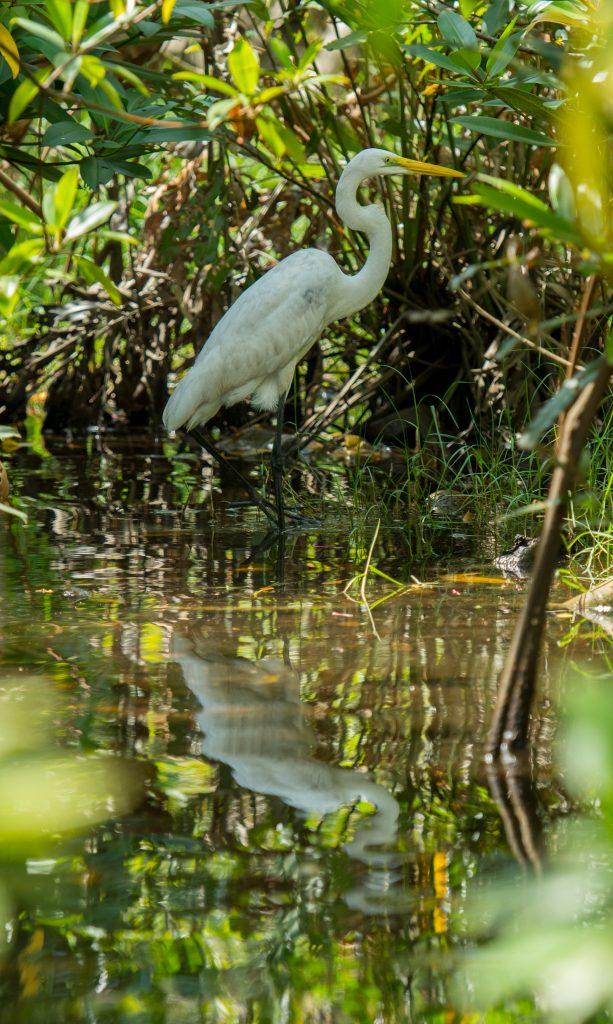 Ein Greater Egret spiegelt sich im seichten Ufergewässer