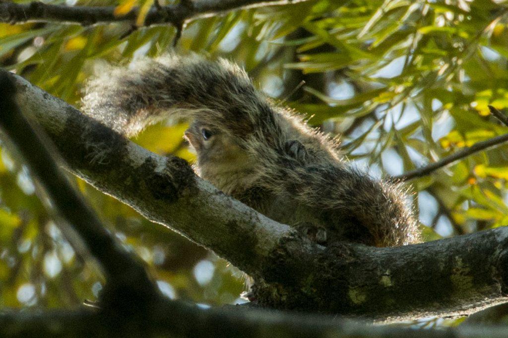 Die kleinen Indian Palm Squirrels sind überall unterwegs und quieken wild.