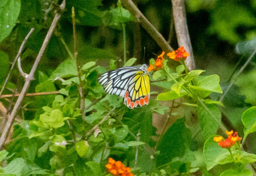 Der Jezebel Butterfly auf einem Wandelröschen