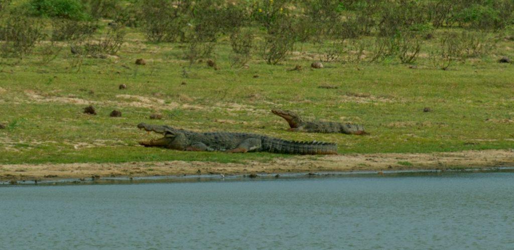 Dösende Sumpfkrokodile im Yala Nationalpark