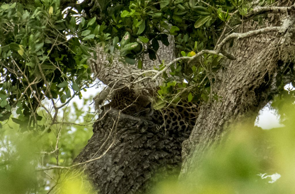Schlafender Leopard im Yala Nationalpark