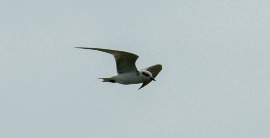 Hier ein noch nicht ausgewachsenes Exemplar der Little Terns, dem die schwarze Kappe noch fehlt