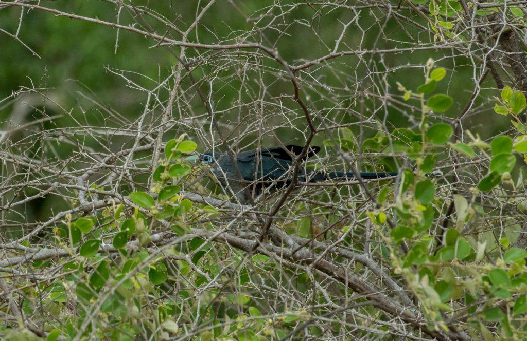 Ein Blue-Faced Malkoha drückt sich ins Geäst