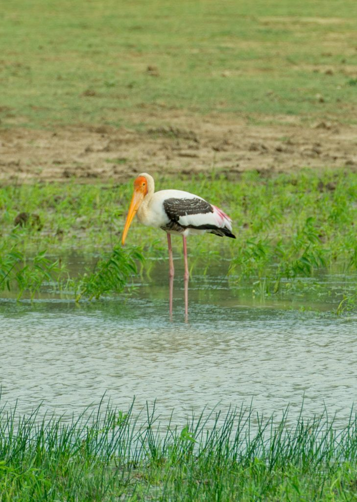 Der farbenfrohe Buntstorch, auch im Yala Nationalpark zu finden.