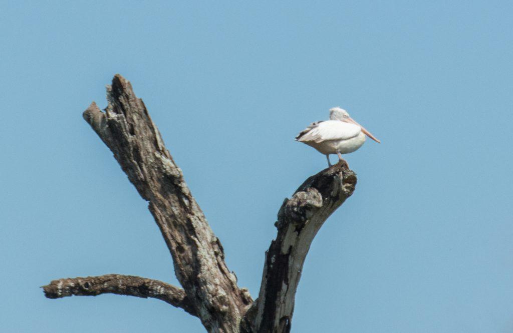 Ein Pelikan auf seinem Aussichtsposten