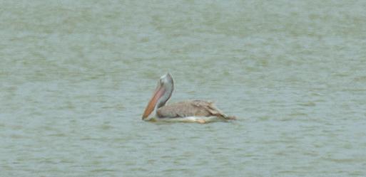 Der Spot-Billed Pelican
