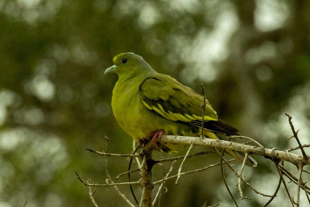 Ein weibliches Exemplar der farbenfrohen Pompadour Green Pigeon