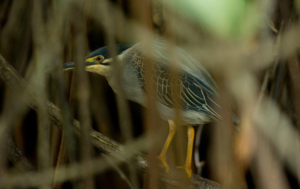 Hier duckt sich ein weiterer Pond Heron in die Mangroven