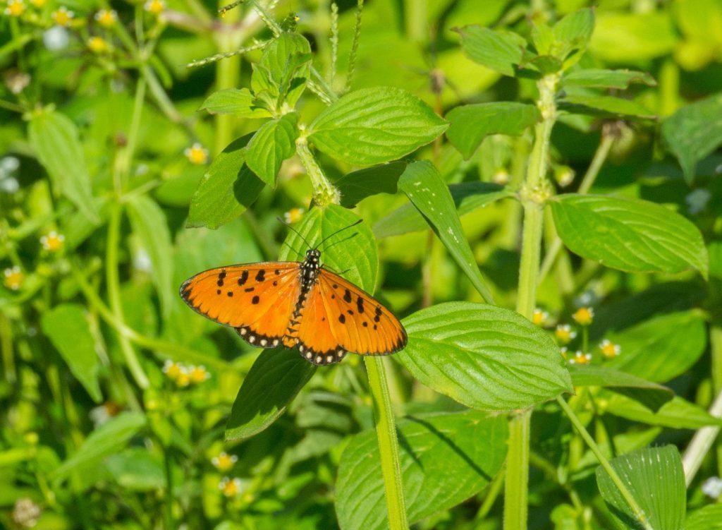 Acraea violae - Neben den vielen Vögeln gibt es auch wunderbare Schmetterlinge.