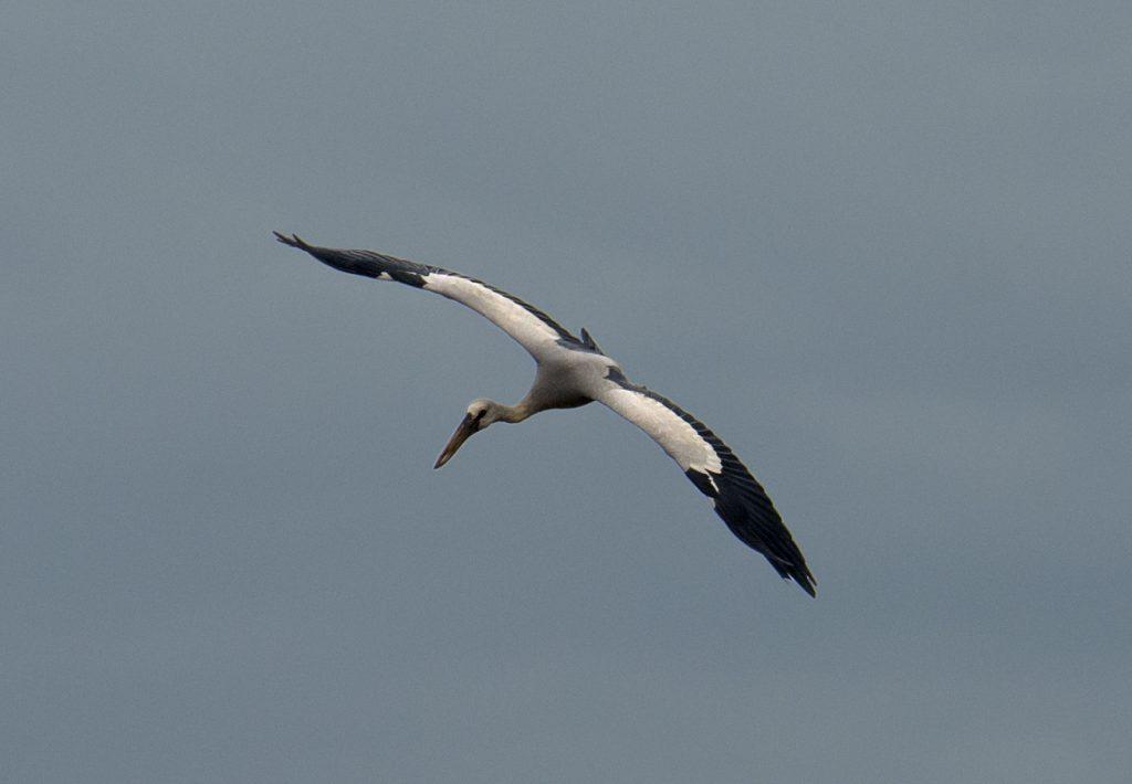 Ein Storch in der Dämmerung